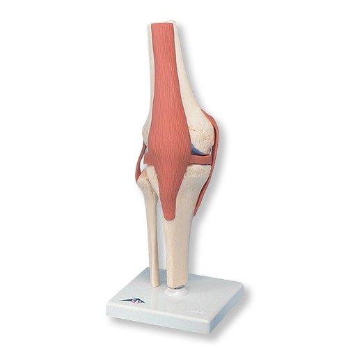 Model lidského kolenního kloubu - funkční a luxusní