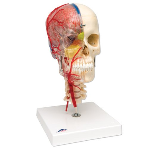 Model lidské lebky - BONElike™ - luxusní didaktická lebka - 7 částí