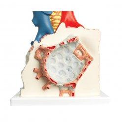 Model plicního váčku s okolními cévami