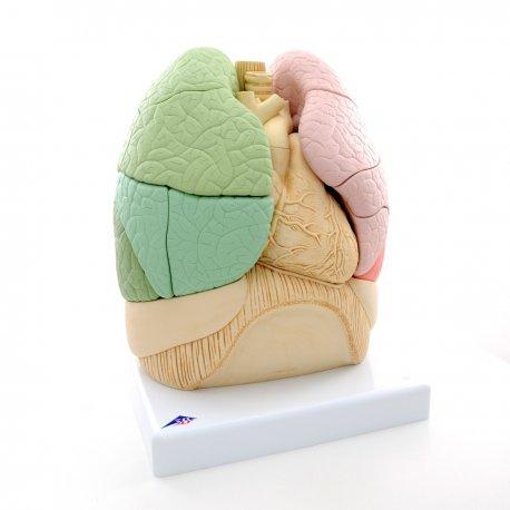 Model segmentů plic člověka
