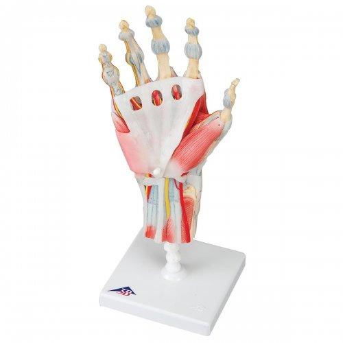 Model kostry lidské ruky s vazy a svaly