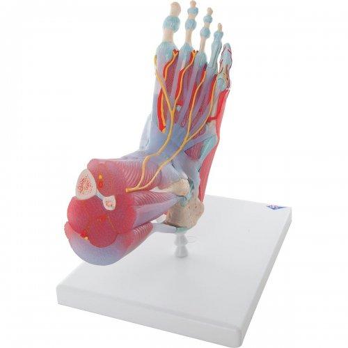 Model kostry lidské nohy se svaly a vazy