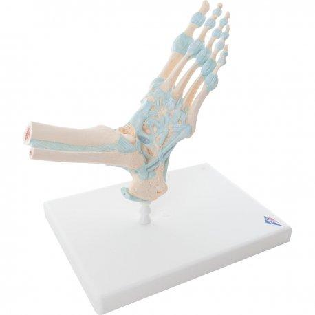 Model kostry lidské nohy s vazy