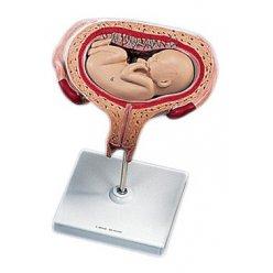 Model lidského plodu v pátém měsíci těhotenství - příčná poloha