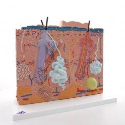 Model lidské kůže - 3 části