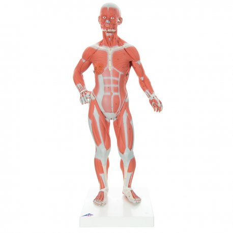 Mini model lidského svalstva - 1/4 životní velikosti - 2 části