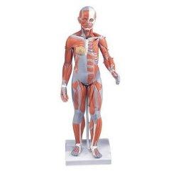 Model lidského svalstva - ženský - 21 částí