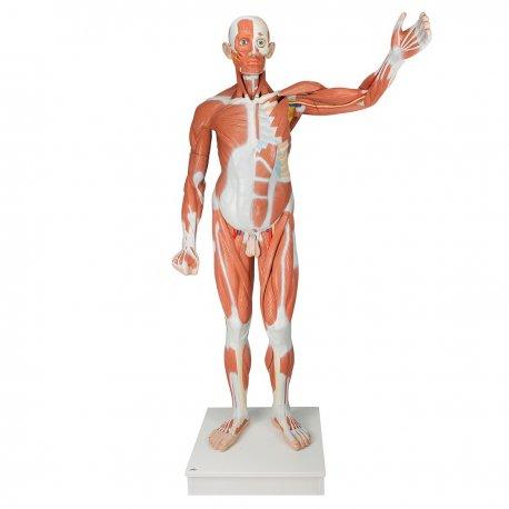 Figurína svaloviny člověka - mužská - 37 částí