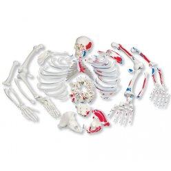 Rozložený model lidské kostry - celá kostra - s malovanými svaly