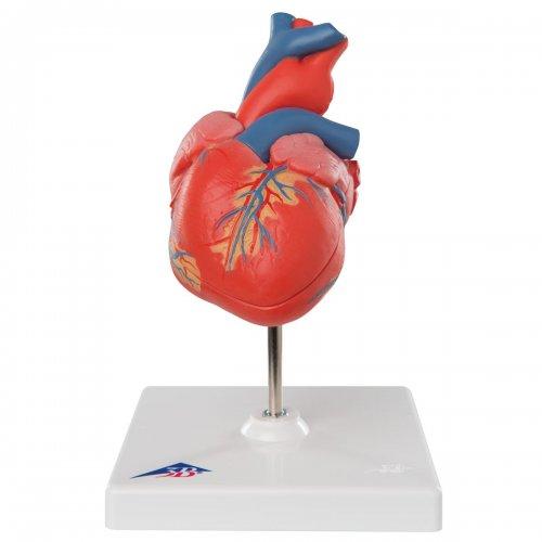 Model lidského srdce - klasický - 2 části
