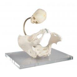 Model pánve pro demonstraci porodního kanálu