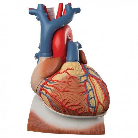 Model srdce s bránicí - třikrát zvětšeno - 10 částí