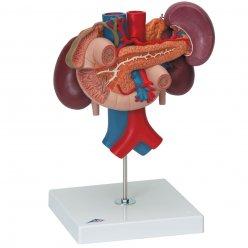 Zadní orgány břišní dutiny člověka s ledvinami