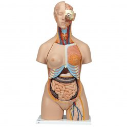 Torzo lidského těla - luxusní a oboupohlavní s otevřenými zády - 28 částí