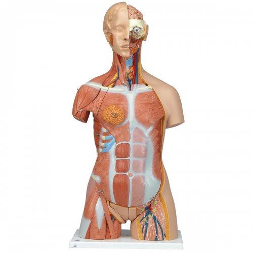 Torzo lidského těla - luxusní a oboupohlavní - 31 částí