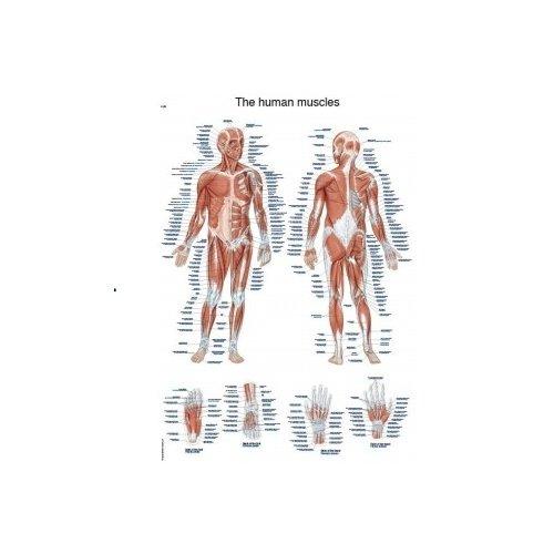 Schéma - svalstvo člověka