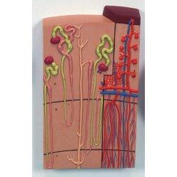 Model lidských nefronů a cév - 120x zvětšené