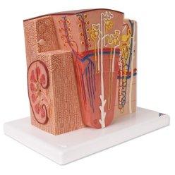 Model lidské ledviny - mikroanatomický