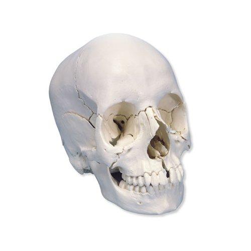 Model lidské lebky - 22 částí