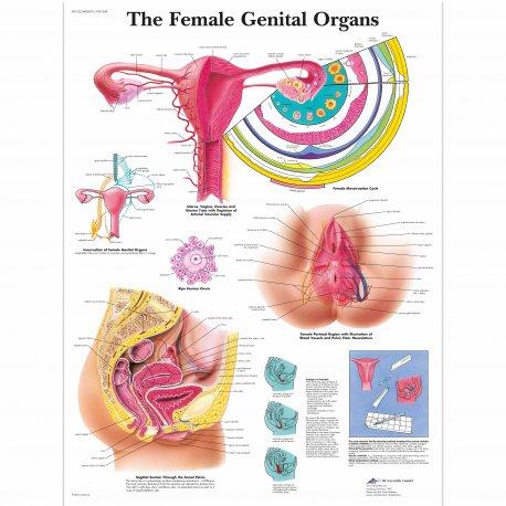 Schéma - ženské pohlavní orgány - AJ - 50x67 cm