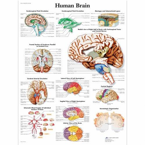 Schéma - lidský mozek - AJ - 50x67 cm