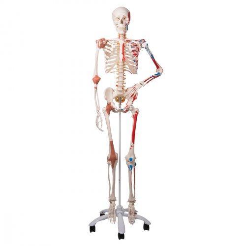 Model lidské kostry - super - se svaly a vazy - na pojízdném stojanu