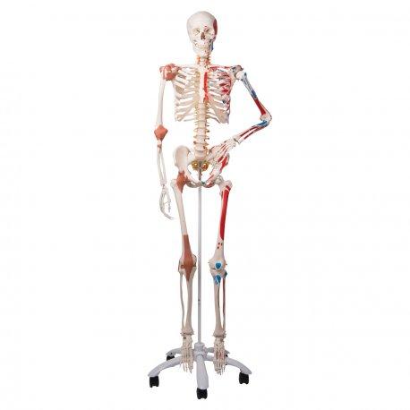 Model lidské kostry - super - se svaly a vazy