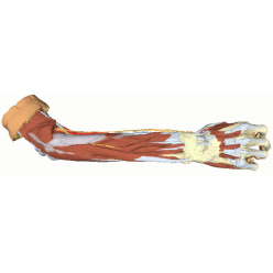 Hluboká struktura horní končetiny a ruky