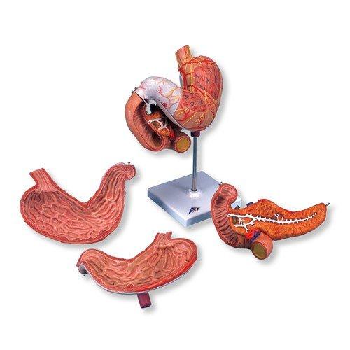 Model lidského žaludku - 3 části
