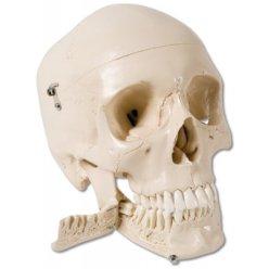 Model lidské lebky se zuby, které se dají trhat - 4 části