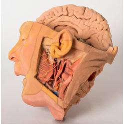 Celkový pohled na model hlavy a krku
