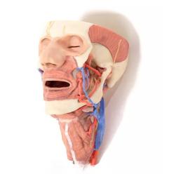 Hlava a viscerální prostor krku