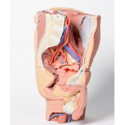 Levá část mužské pánve a proximální část stehna