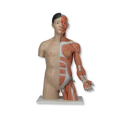 Torzo lidského těla se svalstvem horní končetiny - oboupohlavní a luxusní - asiat - 33 částí