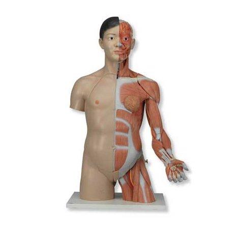 Torzo luxusní oboupohlavní se svalstvem paže (asiat) - 33 částí