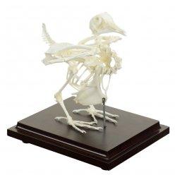 Kostra holuba