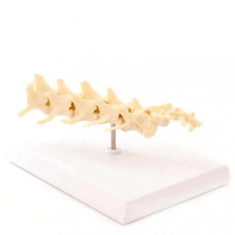 Anatomický model psí páteře