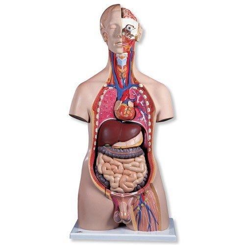 Torzo lidského těla - mužské - luxusní s hlavou - 20 částí - DOPRODEJ
