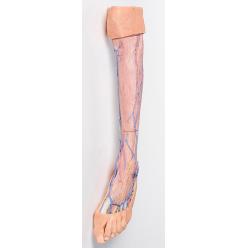 Dolní končetina - povrchové žíly
