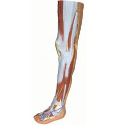 Dolní končetina - povrchová disekce