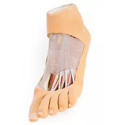 Chodidlo - chodidlová plocha a povrchová disekce nártu