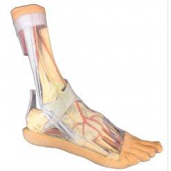 Model anatomických struktur chodidla