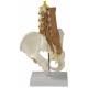 Model pánve a bederní páteře se svaly - pohled z boku
