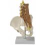 Pánev a bederní páteř se svaly