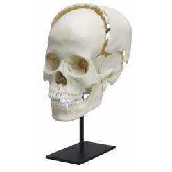 Kloubně spojená lebka pro výuku medicíny