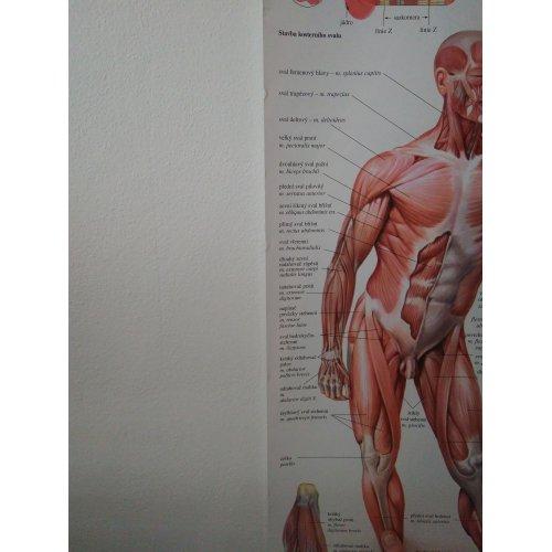 Schéma - lidská pohybová soustava - CZ - 67x96 cm