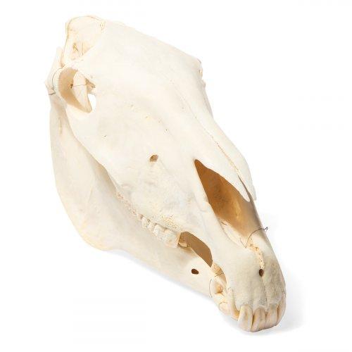 Kůň domácí - Equus caballus - lebka