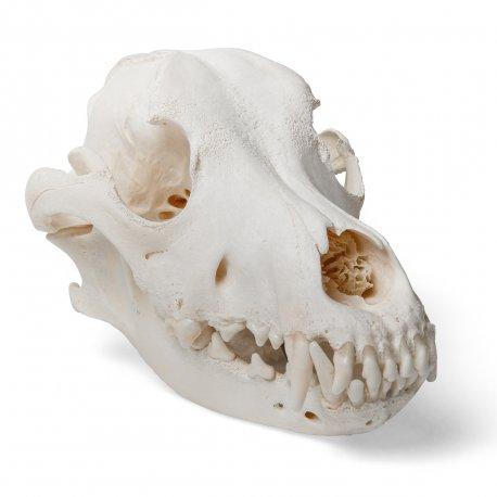 Pes domácí - Canis domesticus - lebka