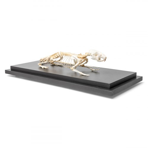 Krysa obecná - Rattus rattus - kostra