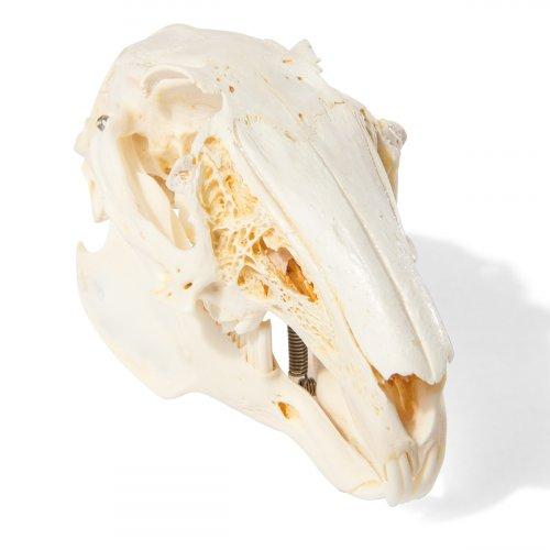 Zajíc polní - Lepus europaneus - lebka